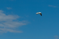 Heavily cropped seagull